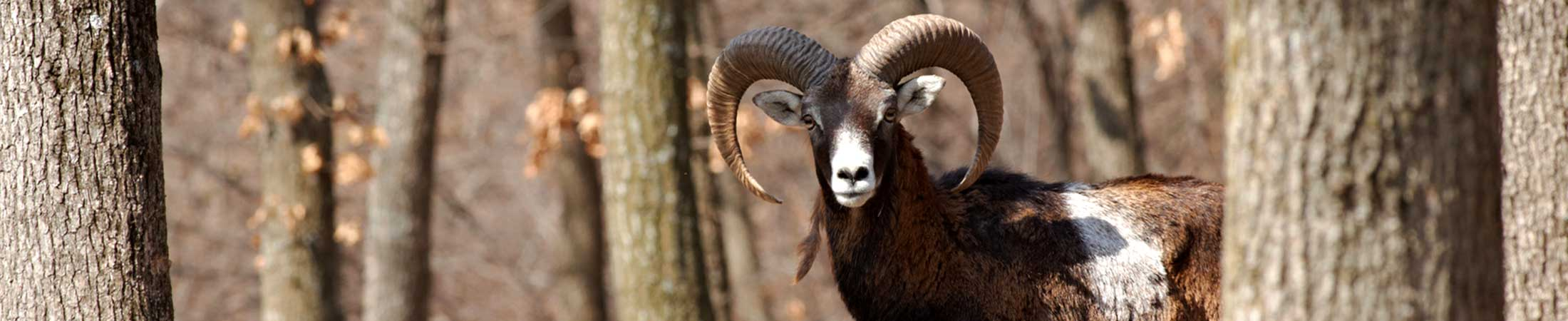 mouflon450