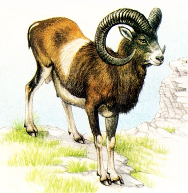 DessinMouflon370x380