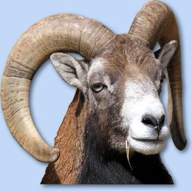 Le mouflon du Haut Languedoc