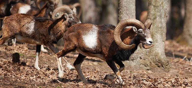 mouflon780x360